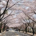 八公山桜祭り