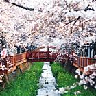 romance_sakura-s