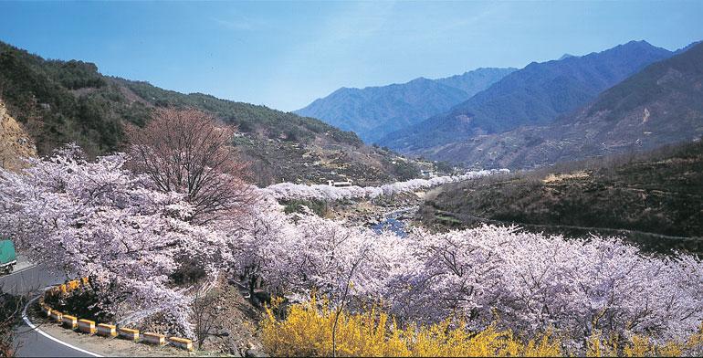 河東・花開ジャント桜祭り