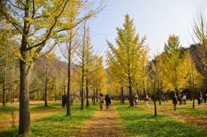 YANAGAWA_洪川銀杏の森