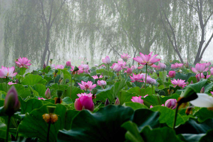 궁남지연꽃